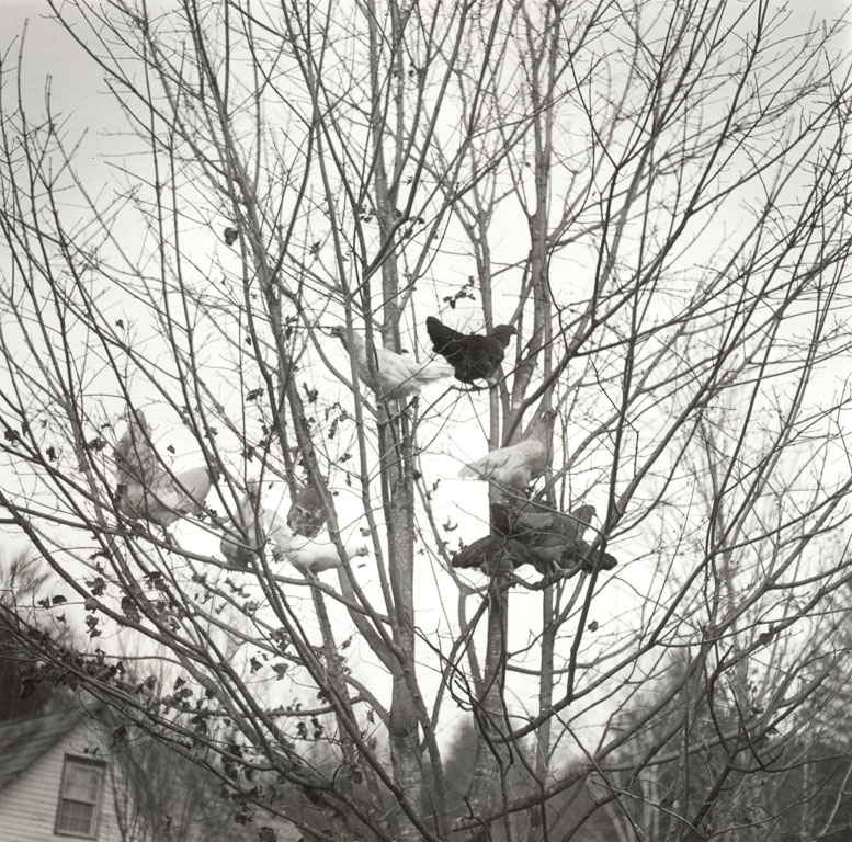 black and white image of chickens in a tree