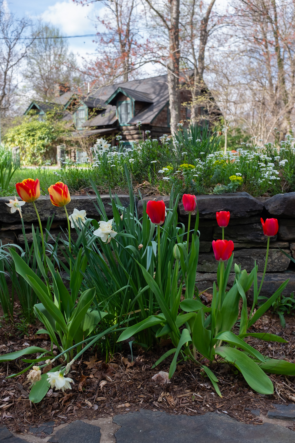 Tulips in bloom at Penland.